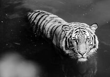 Framed Print - Black & White Bengal Tiger in the Water (Picture Wild Animal Art)