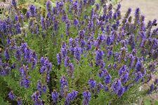 200 Graines de Hysope Officinale / Plant Herbe Aromatique Orientale