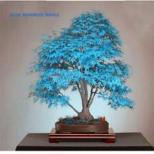 20pcs Blue Japanese Maple Tree Bonsai Seeds Acer Palmatum Atropurpureum Plant