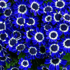 Charm DIY Garden 50 Blue Daisy Seeds Awesome Easy to Grow Flower Garden Decor