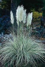 Pampas Grass White- 100 Seeds - 50 % off sale
