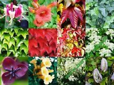 MIXED SELECTION OF 6 CLIMBING QUALITY PLANTS INC CLEMATIS, JASMINUM, IVY