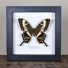 Emperor Swallowtail in Box Frame (Papilio ophidicephalus)  insect taxidermy