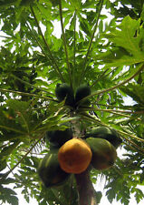Red Lady Dwarf Papaya Seeds - 10+ seeds