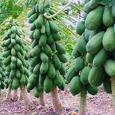 Maradol Papaya Seeds Home Garden Vegetable Fruit Tree Plants Seeds Outdoor 8Pcs
