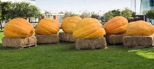 FULLER'S PRIZE WINNING ATLANTIC GIANT PUMPKIN SEEDS 1000 POUNDS+
