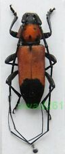 Purpuricenus desfontainii ssp. inhumeralis Pic, 1891 male Greece, Thassos Is12