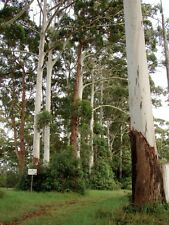 FLOODED or ROSE GUM (Eucalyptus grandis) 200 seeds