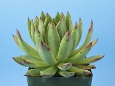 Echeveria agavoides succulent Beautiful red tipped leaves! B46