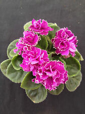African Violet Plant- Ness Cranberry Lace (2 inch)