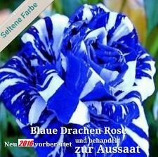 20x Blaue Drachen Rose weiß-blau Streifen Samen Pflanze Rarität Blume Rose #112