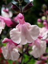 40+ SALVIA PINK FRILLS FLOWER SEEDS / PERENNIAL / DROUGHT & DEER TOLERANT