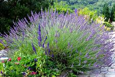 50 Graines de Lavande BIO seeds plantes fleurs vivace officinale jardin potager
