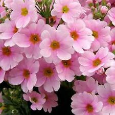 15+ Pink Primrose  / Primula /  Perennial Flower Seeds / Scented