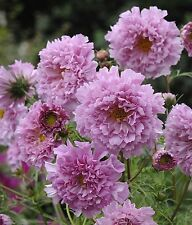 "Lot de graines de fleurs cosmos double click ""rose bon bon 'king's seed"