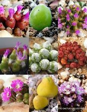OOPHYTUM MIX, succulent cactus mixed living stones rocks plant seed -15 SEEDS