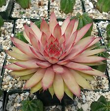 Sempervivum Ruby Heart Hen And Chicks Real Nice Cactus Live Succulent Plant
