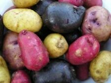 MIX MICRO SEED POTATOES - LIMITED AMOUNT - GREAT PRICE