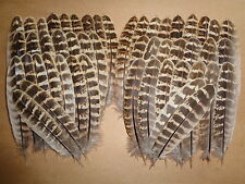"50 Hen Pheasant Wing Feathers 5"" - 6"" Free 1st class post - Fly Tying Millinery"