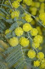 Acacia dealbata HARDY ACACIA Exotic SEEDS!