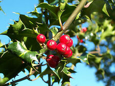 Common Holly - Ilex Aquifolium  - 15 Seeds