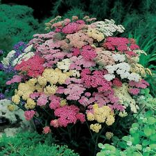 Kings Seeds - Achillea Summer Pastels - 150 Seeds