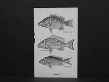 Fish, North American Game Fish c. 1940s, S1#20 Schoolmaster, Lane Snapper