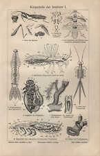 Lithografie 1909: Körperteile der Insekten I/II. Biene Fliege Laufkäfer