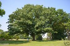 10 SEMI DI RED OAK TREE Quercus RUBRA ALBERO Acorn