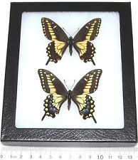 REAL FRAMED BUTTERFLIES CALIFORNIA PAPILIO POLYXENES COLORO PAIR MALE FEMALE