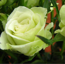 100 Green Rare Rose Seeds Fresh Rose Seed For Lover