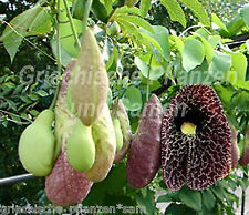 Gespensterpflanze Aristolochia elegans* Ranker*10 Samen