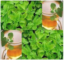 (500) Lemon Balm Herb Seeds - Melissa Officinalis - Combined S&H