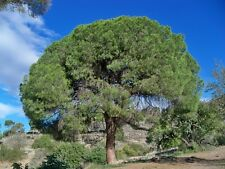 20 Semillas - Pino carrasco - PINUS HALEPENSIS - Samen - Semi - Pine Tree Seeds
