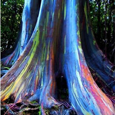 40Pcs Rainbow Eucalyptus Deglupta Seeds Multi-Hued Bark Colorful Tropical Bonsai