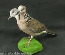 2 Headed Spotted Turtle Dove Taxidermy Bird Mount Sideshow Gaff