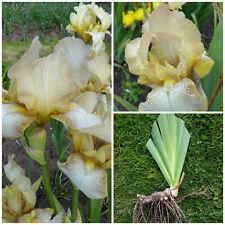 Iris germanica - 'Benton Primrose' - Tall Bearded Iris - Rare Hardy Perennial