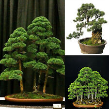 20pcs Japanese Pine White Pinus Parviflora Green Plants Tree Seeds Decor Bonsai