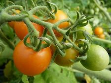8 graines de TOMATE DES GALAPAGOS (Solanum Galapagense)H419  WILD TOMATO SEEDS