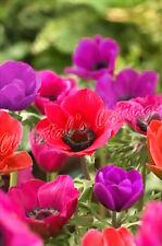 40 Anemone Mr Fokker Sylphide Schön Frühling Blume Herbst Wachsen Zwiebel Knolle