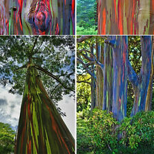 Garden 50pcs Hawaii Rainbow Eucalyptus Seeds Awesome Easy to Grow