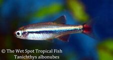 "(16) 1"" White Cloud Mountain Minnow T. albonubes live tropical freshwater"