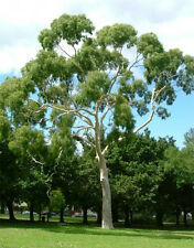 Lemon-scented Gum (Corymbia citriodora) - 50 Seed