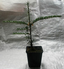 Veitch Fir, Abies Veitchii, Silver Fir Christmas Tree,Plant 20 - 30 cm inc. Pot