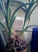 NoID Out of Bloom Cymbidium Orchid #3