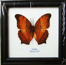 FRAMED REAL BEAUTIFUL CRUISER BUTTERFLY DISPLAY INSECT TAXIDERMY