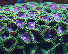 Zoanthid Purple People Eater Zoa-Coral Frag SPS Monti LPS ReefNation Zooanthi
