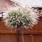 3FT Salix Flamingo Nishiki Standard Tree 2L Pot