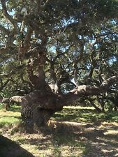 LIVE OAK TREE (QUERCUS VIRGINIANA) GUARANTEED LIVE PLANT