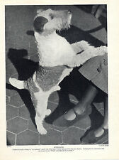 WIRE FOX TERRIER APPEALING IMAGE OF A DOG LOOKING FOR ATTENTION 1934 DOG PRINT